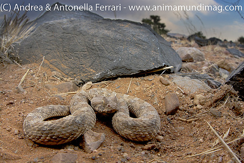 AnimaMundiMagazine posted a photo:	Horned adder Bitis caudalis, Namibia
