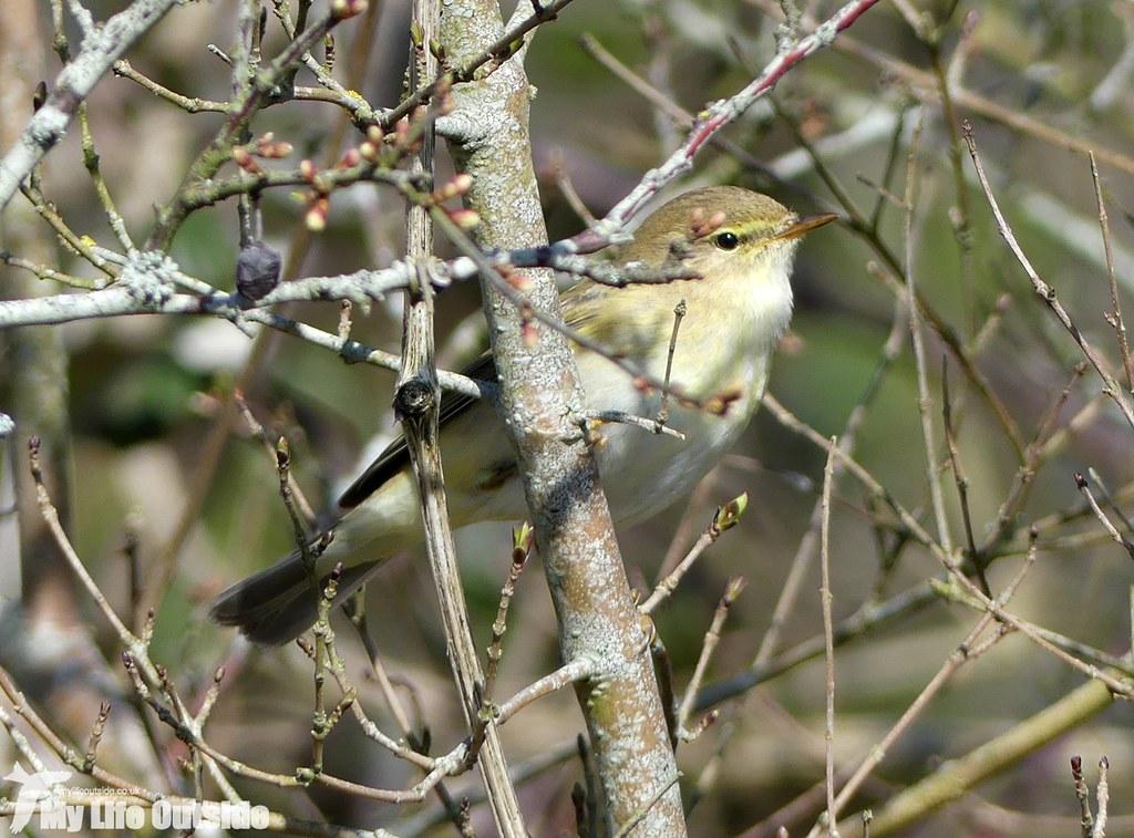 P1000821 - Willow Warbler