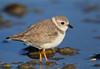 Piping Plover (endangered) - Galveston, Texas