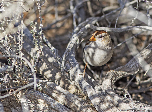 White-Crowned Sparrow 4_7D2_200116