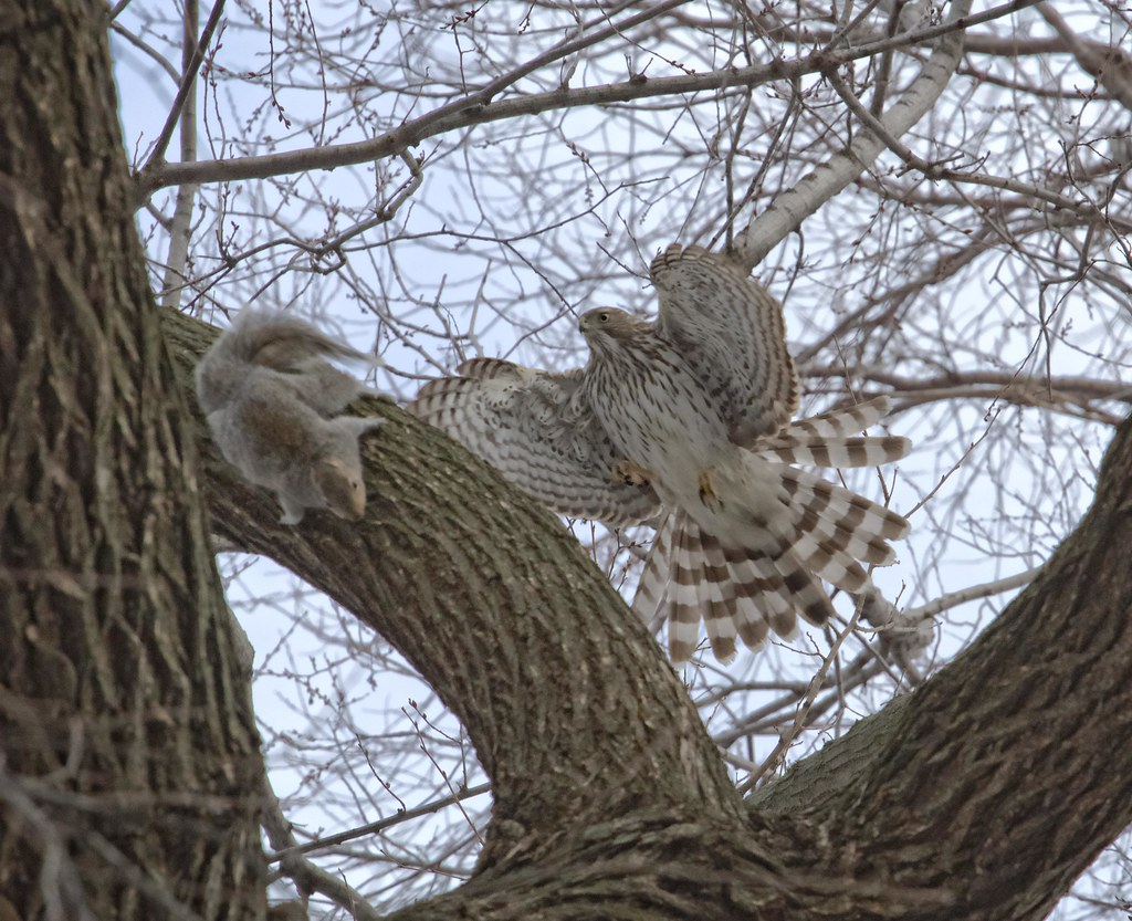 Cooper's Hawk goes after a squirrel