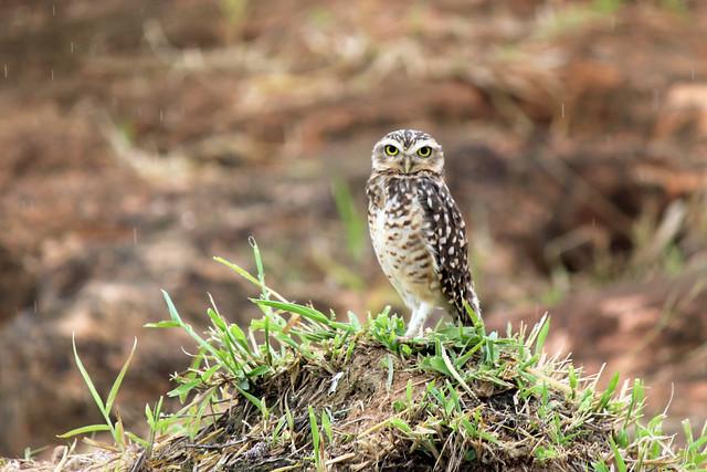 Coruja Caboré - owl