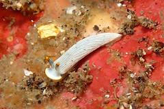 カメキオトメウミウシ Dermatobranchus primus