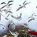 black-headed gull by kampang