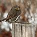 Fond memories of a popcan-sized owl by annkelliott