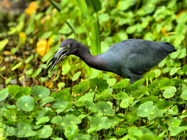 Little Blue Heron HDR 20160221