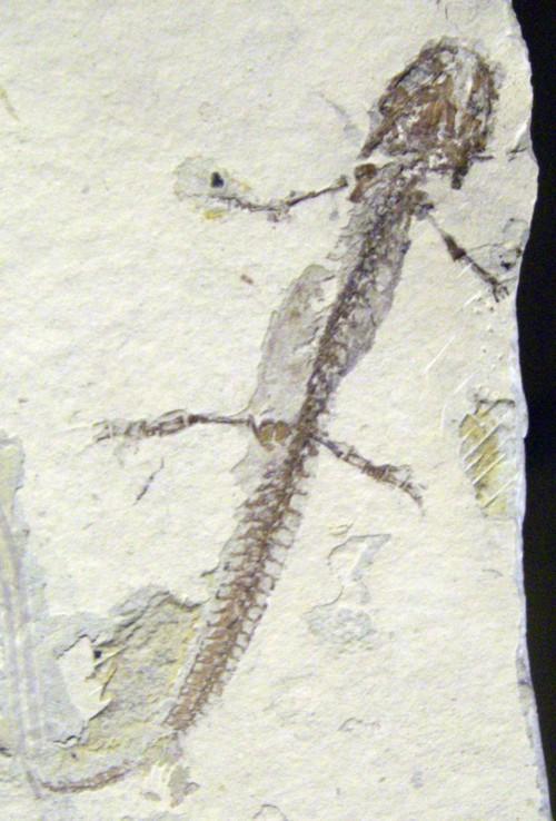 Chelotriton paradoxus 24694041021_76e7424772_o