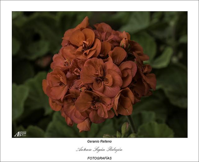 Geranio Relleno (Pelargonium Zonale)