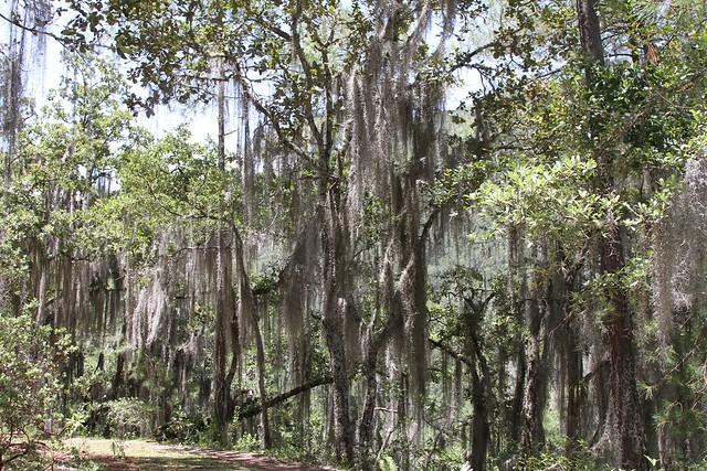 Tillandsia usneoides (Bromeliaceae)