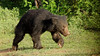 Sloth Bear on the run