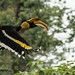 Great Pied Hornbill by Aaru...