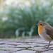 Robin with bokeh by pe_ha45
