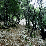 Ikaria's remotest hinterland 16 - the old oak forest