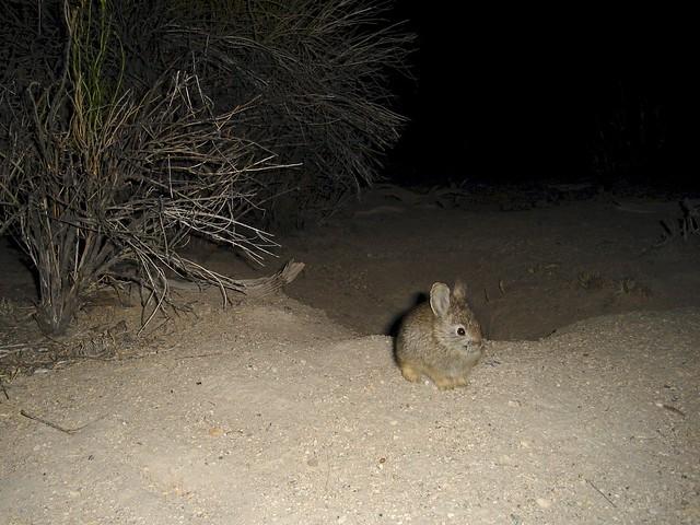juvenile pygmy rabbit