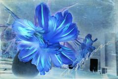 Die blaue Blume - Wunder der Welt und Symbol ewiger Liebe