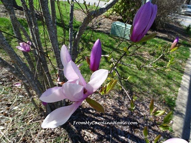 April Saucer Magnolia 1