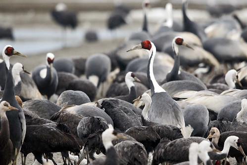 Glasögontrana -  White-naped Crane