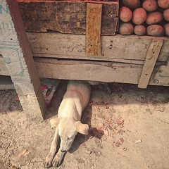 He seemed to come attached with the potato stall. The little guy is always there somehow.
