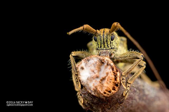 Longhorn beetle (Dystasia cf. circulata) - DSC_6932