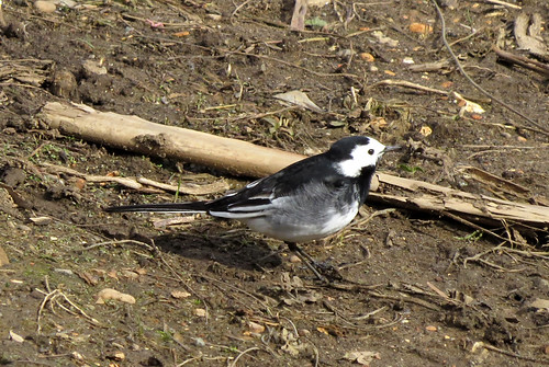 Pied Wagtail Motacilla alba yarrellii Tophill Low NR, East Yorkshire April 2016