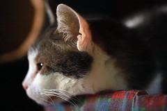 Observons en détail, l'oreille du chat.
