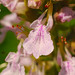 Small photo of American Germander (Teucrium canadense)