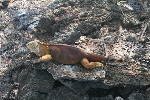 Galápagos-2016. Iguana terrestre