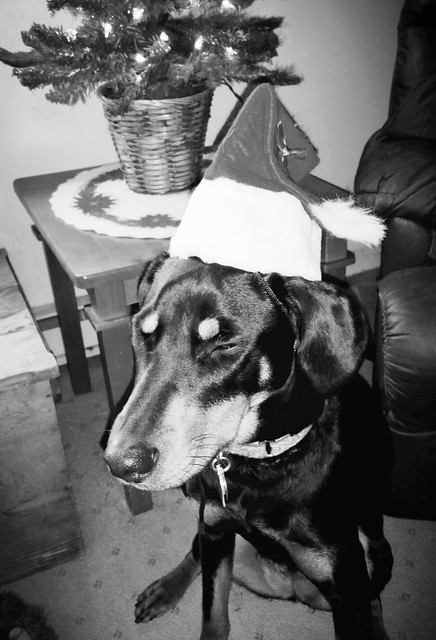 Doberman puppy mix modeling Santa Hat for her first Christmas - Lapdog Creations