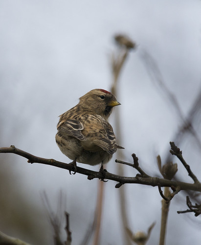Redpolls, Broom GP, 26th december 2015