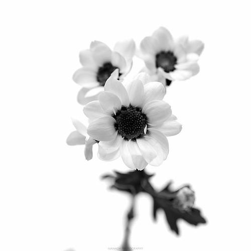 Chrysanthemum // 09 01 16
