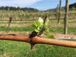 Riversdale Estate Vineyard - first new leaves after budburst | by RiversdaleEstateMedia, Tasmania