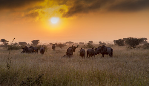 southafrica dawn krugernationalpark mpumalanga krugerpark wildebeest kruger satara bluewildebeest sataracamp krugersunrise