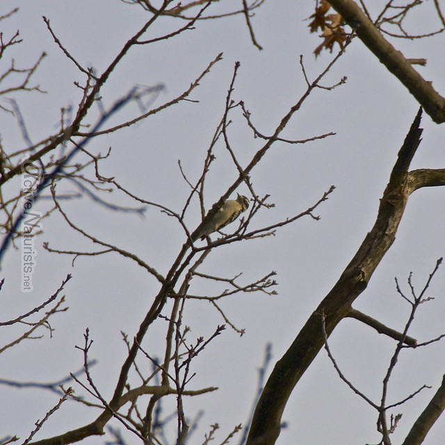 woodpecker 0000 Harriman State Park, NY, USA