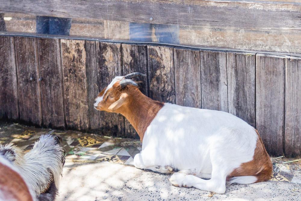 the grounds of alexandria goats animals farm