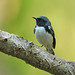 Black-throated Blue Warber (Roger Wasley)