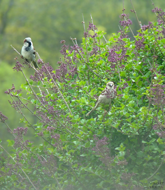 Hazy Sparrows