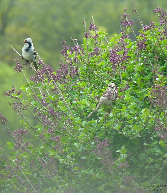 Hazy Sparrows