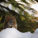 Red Squirrel Eating Snow by E2A2