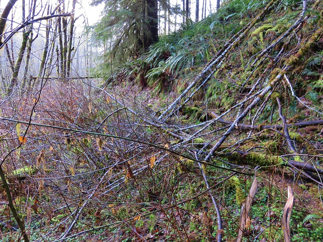 Just a little blowdown along the Armantrout Loop Trail