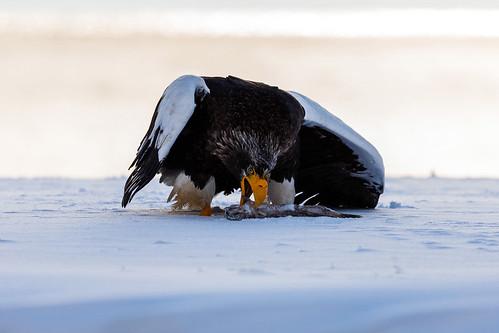 Stellar's Sea-Eagle