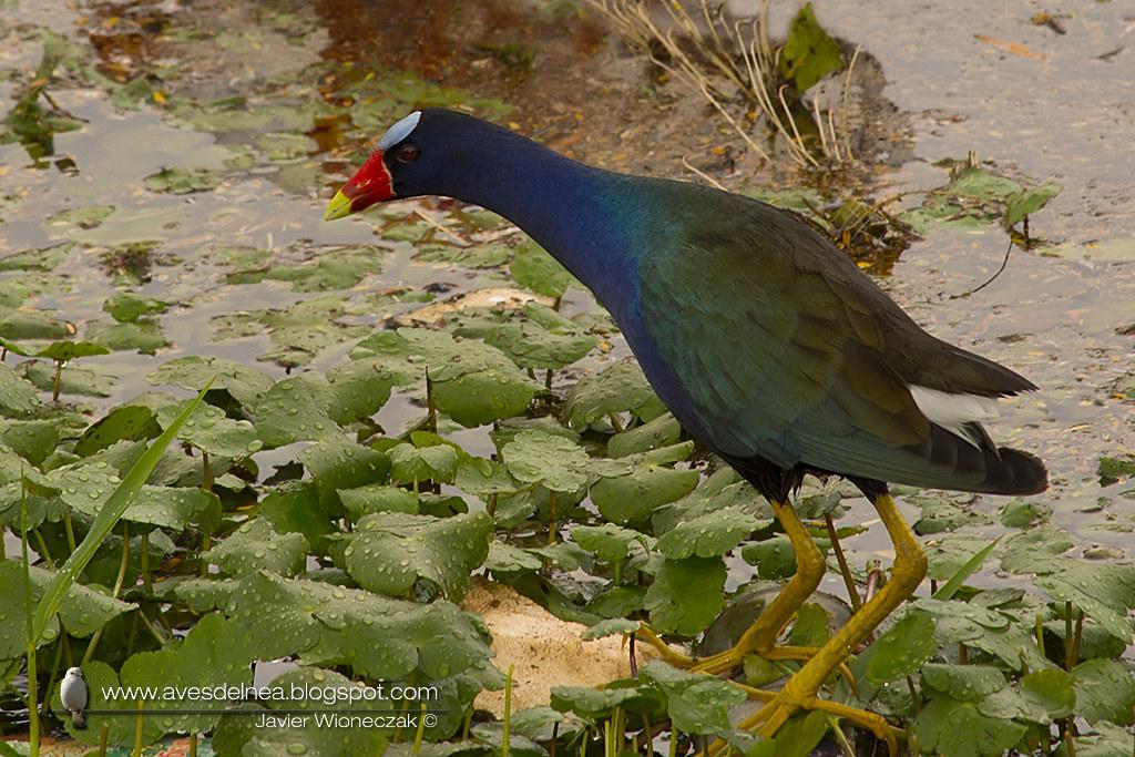 Pollona azul (Purple gallinule) Porphyrio martinicus