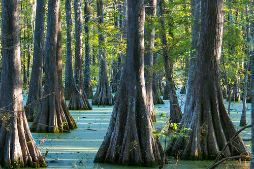 trees usa lake sunrise louisiana atchafalayabasin delta bayou swamp wetlands cypress lakemartin baldcypress cypressknees