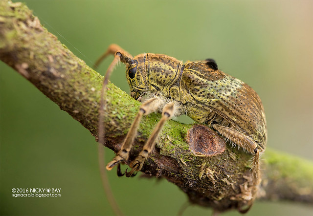 Longhorn beetle (Dystasia cf. circulata) - DSC_6919