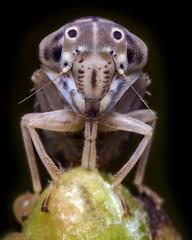 Mango leafhopper