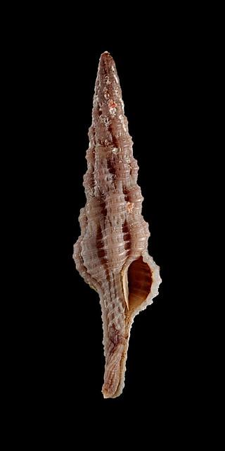Dolicholatirus lancea - (Gmelin, 1791) 25761375112_a14035c0c5_z