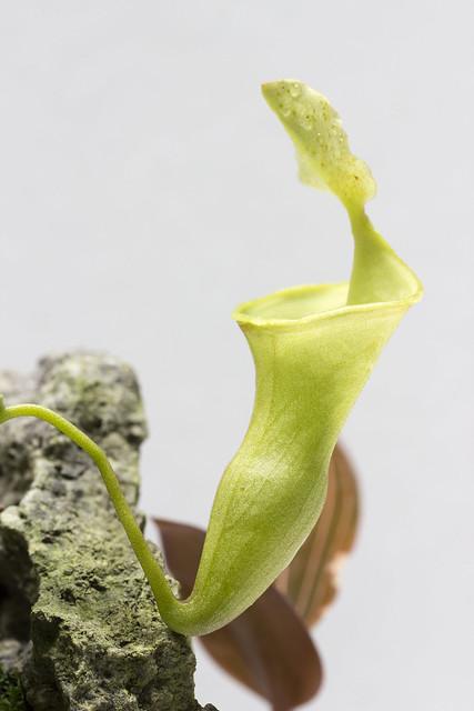 N. campanulata BE