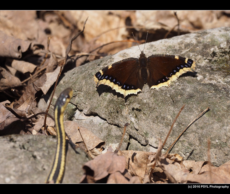 Mourning Cloak and Eastern Garter Snake