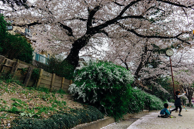 CherryBlossoms_207