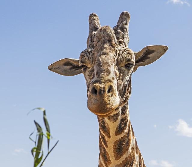 Giraffe 7_7d1__250416