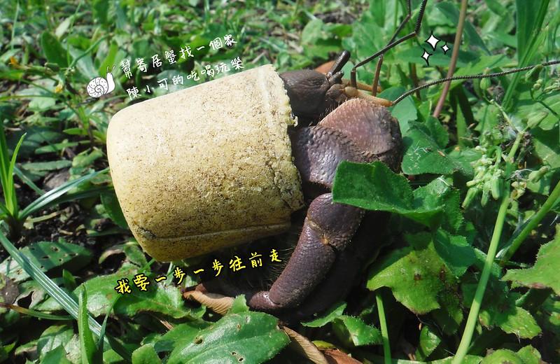 【綠島旅遊-活動】綠島行程安排規劃-幫寄居蟹找個家(貝殼)(減碳愛綠島)